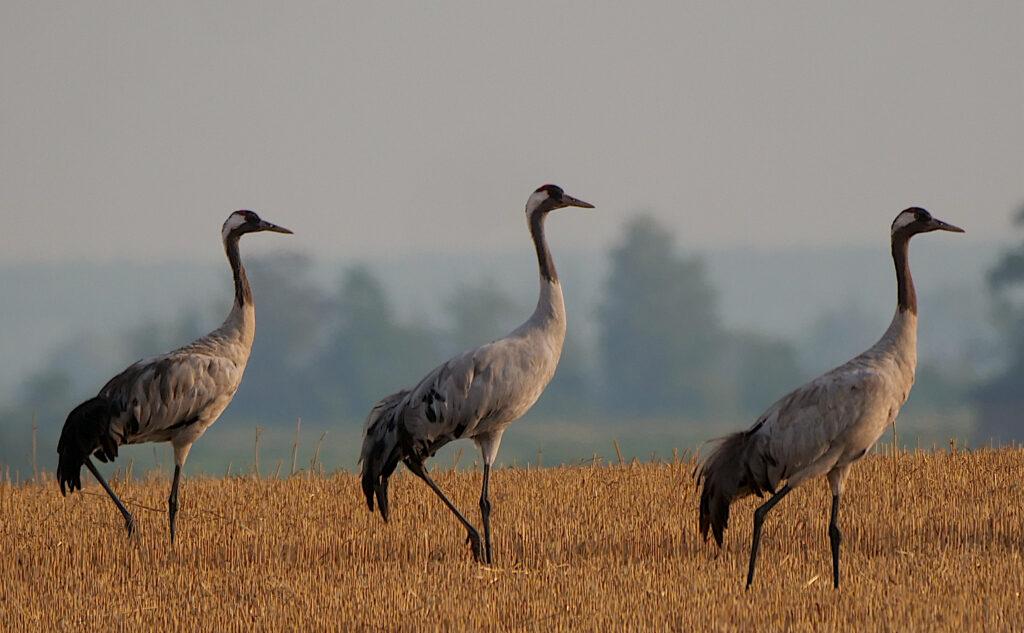 Kraniche auf einem Feld, Tag der Artenvielfalt, G. Hoffmann