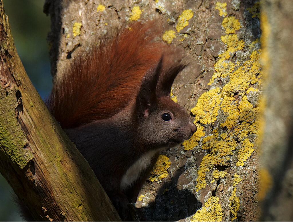 Eichhörnchen, Tag der Artenvielfalt, G. Hoffmann